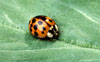 Asian Lady Beetle l Scott Bauer, USDA Agricultural Research Service