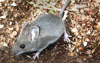 Deer Mouse l David Cappaert, Michigan State University