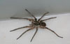 Wolf Spider l Lesley Ingram